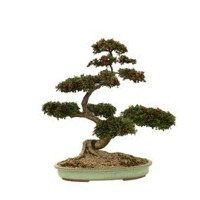 Plants: Bonsai